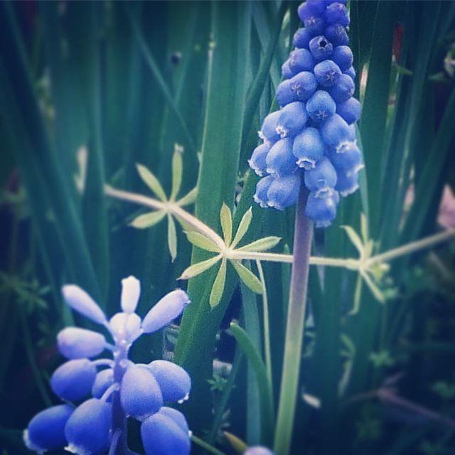 春の花、紫。#flower #violet #spring
