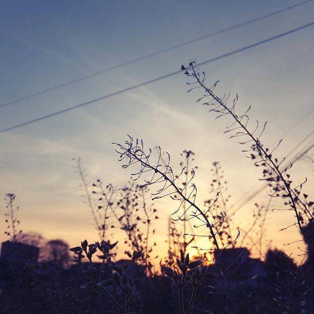 なずなチリチリ、春の夕焼け散歩道でした。また明日。#イマソラ #mysky #sky #sunset #fine #sheperdspurse #spring
