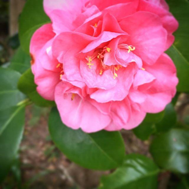 今日は雨といいつつ、あんまり降りませんでした。もう完全に春の暖かさ。花もムズムズしているようです。#flower #pink