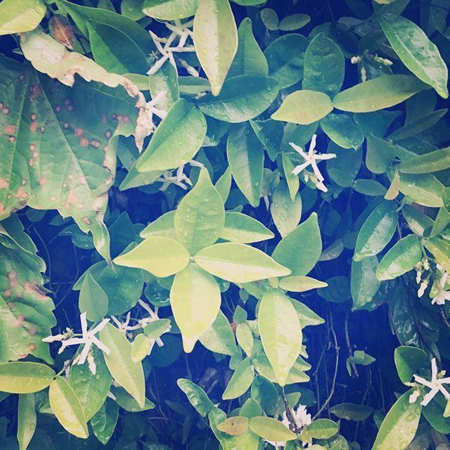 今日の熊本はしとしと雨。冷んやりします。余震が減った日曜日。街も静かな1日でした。このまま余震がおさまっていくのなら、明日から、復興に頑張らないと。生活があります。とにかく、前へ進まなければ!#rain #rainy #green #white #flowers #spring #kumamoto #japan #2016