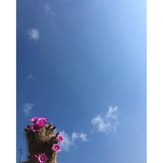 おはようございます。やっとさわやかな青空が見れました!今日は鳥たちも忙しそう。涼しい朝ですが、気持ちが温まります。サボ子さんも毎日花を咲かせています。#イマソラ #mysky #sky #fine #blue #cactus #flowers #clouds #spring #kumamoto #japan #2016