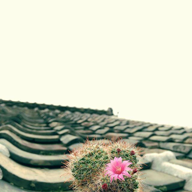 なんだかんだであっという間に最後の花かもね。雨からくもりへ。#イマソラ #mysky #sky #cloudy #cactus #flower #japanese #roof