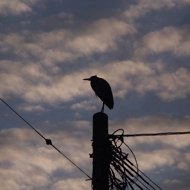 今日は仕事がうまくいってほっと暖かくなりました。孤高の鳥もひと休み。空は下り坂。美しい波の雲。今日もご苦労様。また明日。#イマソラ #mysky #sky #fine #clouds #sunset #wave #bird #pole #lines #winter #january #2017