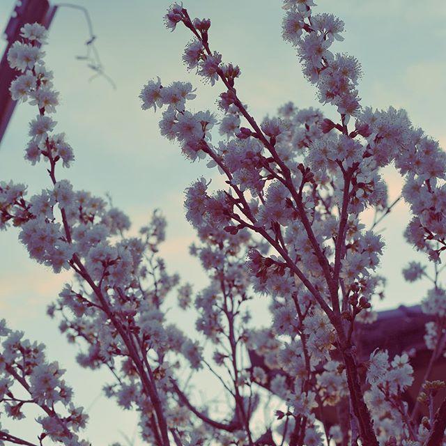 早い花が満開です。#イマソラ #mysky #sky #sunset #evening #flowers #pink #tree #spring #march #2017 #花に誘われて #暗い方が綺麗 #春の散歩 #夕暮れ時