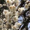 新しい元号「令和」は、梅と蘭の香り