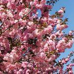 令和の八重桜