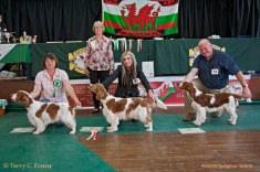 BEST BITCH LINEUP: BB (centre) - SLAPESTONES HEPBURN FOR BENOVEOR. RBB (left) - ISFRYN HOCUS POCUS JW. BPB (right) - GLENBROWS LIBERTY (Al) . Welsh Springer Spaniel Club of South Wales Open Show 18-09-2016, held at Chepstow, Wales.