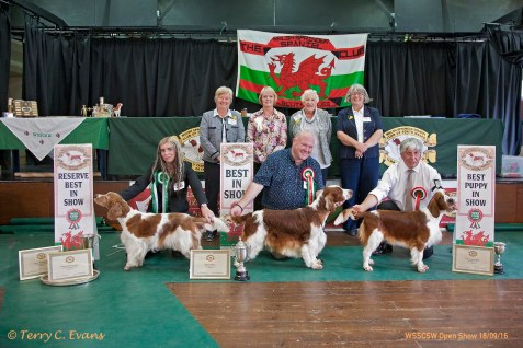 BIS LINEUP: BIS (centre) - Sh Ch GLENBROWS TRADEMARK JW. RBIS & BOS (left) - SLAPESTONES HEPBURN FOR BENOVEOR. BPIS (right) - SARABANDE MAN IN THE MIRROR (AI). Welsh Springer Spaniel Club of South Wales Open Show 18-09-2016, held at Chepstow, Wales.