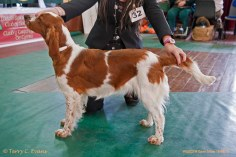 MAIDEN BITCH: Glenbrows Loyalty To Benoveor (Al). Welsh Springer Spaniel Club of South Wales Open Show 18-09-2016, held at Chepstow, Wales.