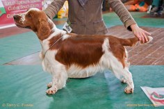 SPECIAL AWARDS: POST GRAD DOG OR BITCH: Jacranella Solo. Welsh Springer Spaniel Club of South Wales Open Show 18-09-2016, held at Chepstow, Wales.