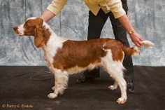 Minor Puppy Dog - Benjamin Jankina Zahrada to Mariemead (imp SVK). Welsh Springer Spaniel Club of South Wales Championship Show 26-03-2016, held at Chepstow, Wales.