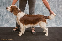 Best Puppy Dog, Puppy Dog & Novice Dog - Julita Rutland. Welsh Springer Spaniel Club of South Wales Championship Show 26-03-2016, held at Chepstow, Wales.