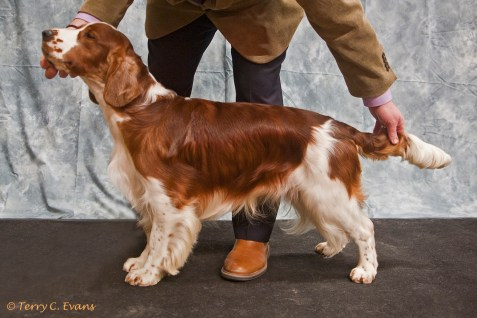 Yearling Dog - Glenbrows Picture Me Now JW. Welsh Springer Spaniel Club of South Wales Championship Show 26-03-2016, held at Chepstow, Wales.