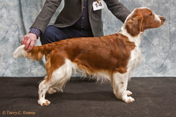 Graduate & Special Beginners Dog - Bowdonia Ozzie. Welsh Springer Spaniel Club of South Wales Championship Show 26-03-2016, held at Chepstow, Wales.