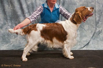 Post Graduate Dog - Bowdonia only The Brave for Cerysan. Welsh Springer Spaniel Club of South Wales Championship Show 26-03-2016, held at Chepstow, Wales.