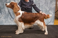 Reserve Best Dog & Open Dog - Sh Ch Ferndel Commander of Bethersden. Welsh Springer Spaniel Club of South Wales Championship Show 26-03-2016, held at Chepstow, Wales.