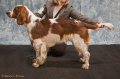 Special New Members Dog - Cwmbeili Morgan. Welsh Springer Spaniel Club of South Wales Championship Show 26-03-2016, held at Chepstow, Wales.