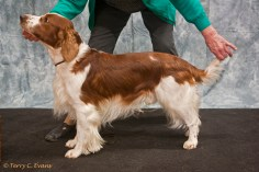 Mr Danny Pritchard Special Memorial Stakes, Dog bred by Exhibitor - Amblelight Galatea. Welsh Springer Spaniel Club of South Wales Championship Show 26-03-2016, held at Chepstow, Wales.