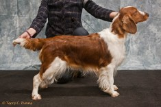 Post Graduate Bitch - Ferndel High Society to Bethersden. Welsh Springer Spaniel Club of South Wales Championship Show 26-03-2016, held at Chepstow, Wales.