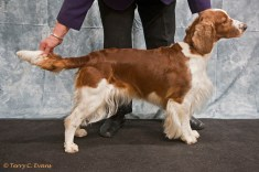 Open Bitch - Sh Ch Ferndel Silhouette of Cwsscwn JW. Welsh Springer Spaniel Club of South Wales Championship Show 26-03-2016, held at Chepstow, Wales.
