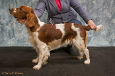 Special Beginners Bitch - Tudful Ffos-Y-Fran. Welsh Springer Spaniel Club of South Wales Championship Show 26-03-2016, held at Chepstow, Wales.