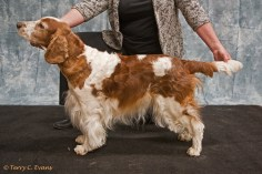 Special Working Bitch - Cherryheath's Miss Chief JW. Welsh Springer Spaniel Club of South Wales Championship Show 26-03-2016, held at Chepstow, Wales.