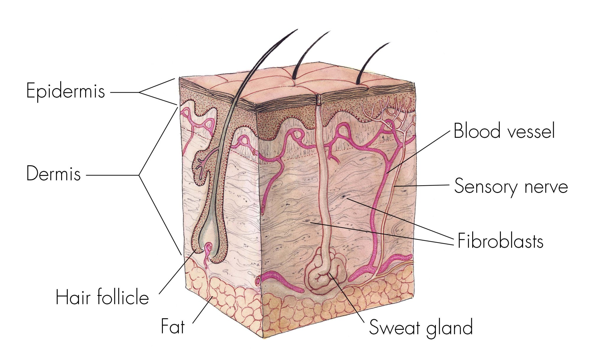 hight resolution of skin layers
