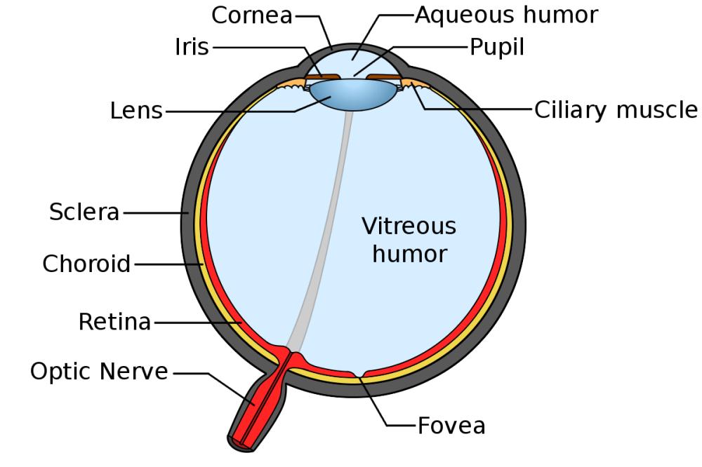 medium resolution of anatomy of the human eye