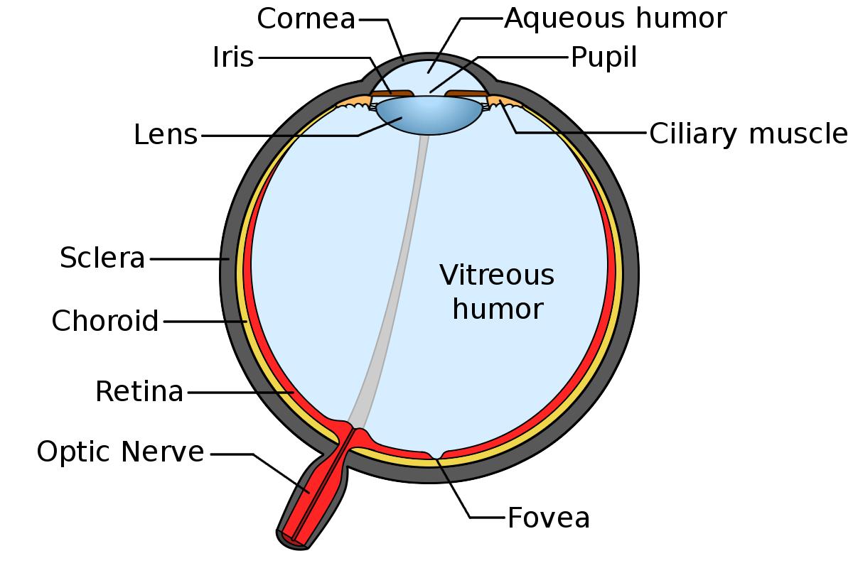hight resolution of anatomy of the human eye