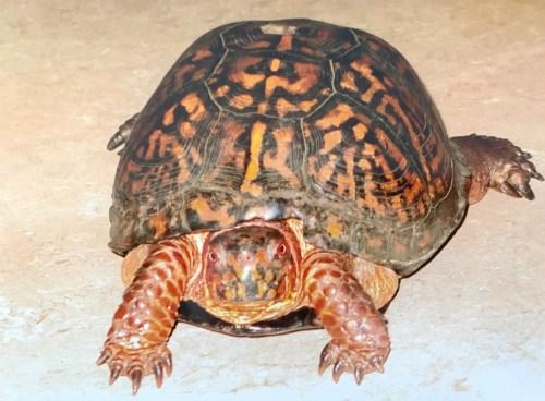 長壽龜出現