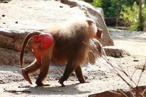 monkey bum