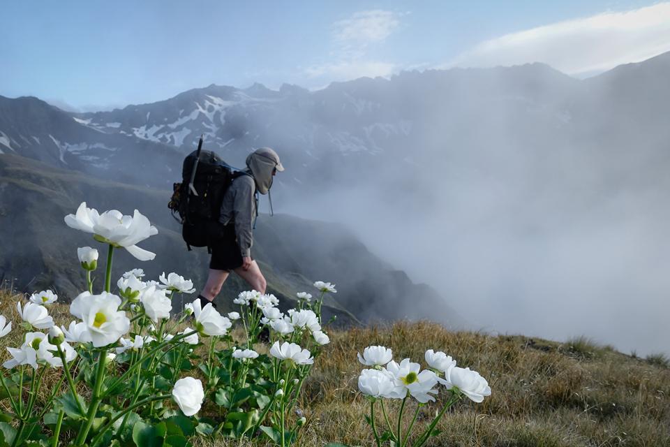 Mt Cook lilies