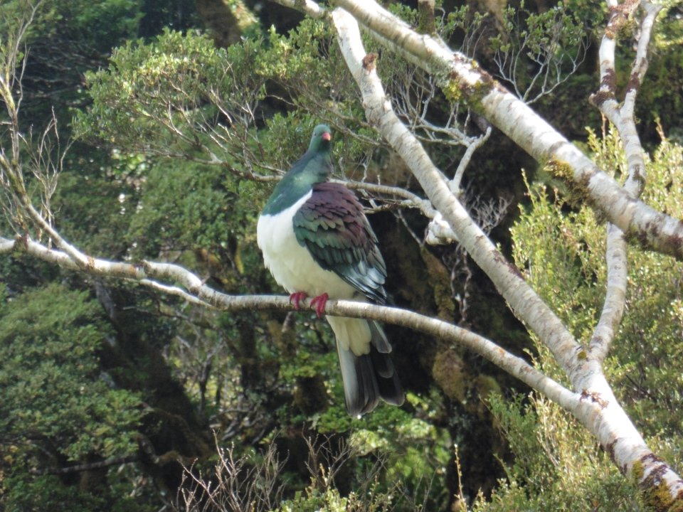A kereru rests on a branch at Field Hut.
