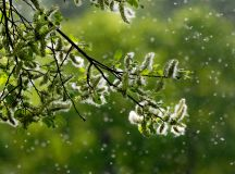 Tree pollen allergies are rough on children, doctor says ...