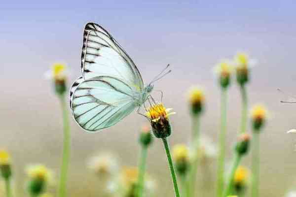 Butterfly image for wtsp dp pic