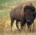 Close Encounters of the Buffalo Kind
