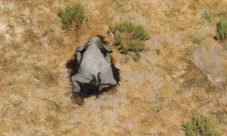 The unusual number of elephant carcasses were first recorded at the start of May
