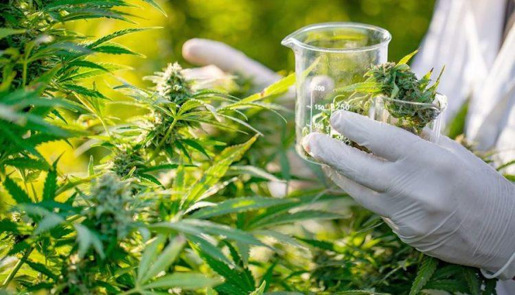 Morocco has legalized cannabis / marijuana