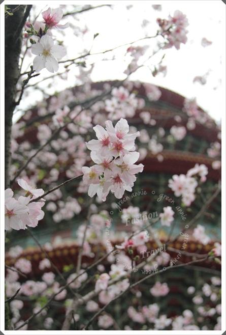 天元宮賞櫻
