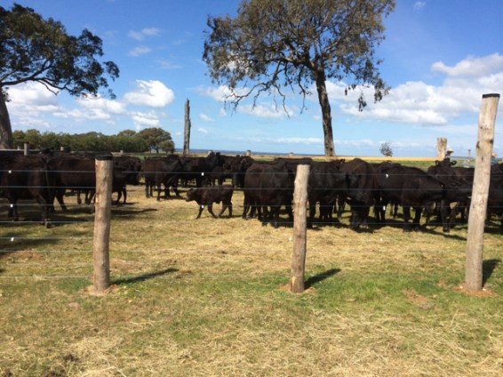 Drafting the cattle