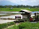 women on the rice field