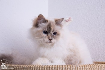 Yurihime's Katzen