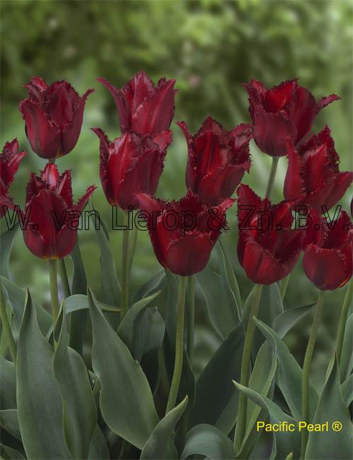 Tulpen  W van Lierop  Zn BV  Bloembollenkwekerij