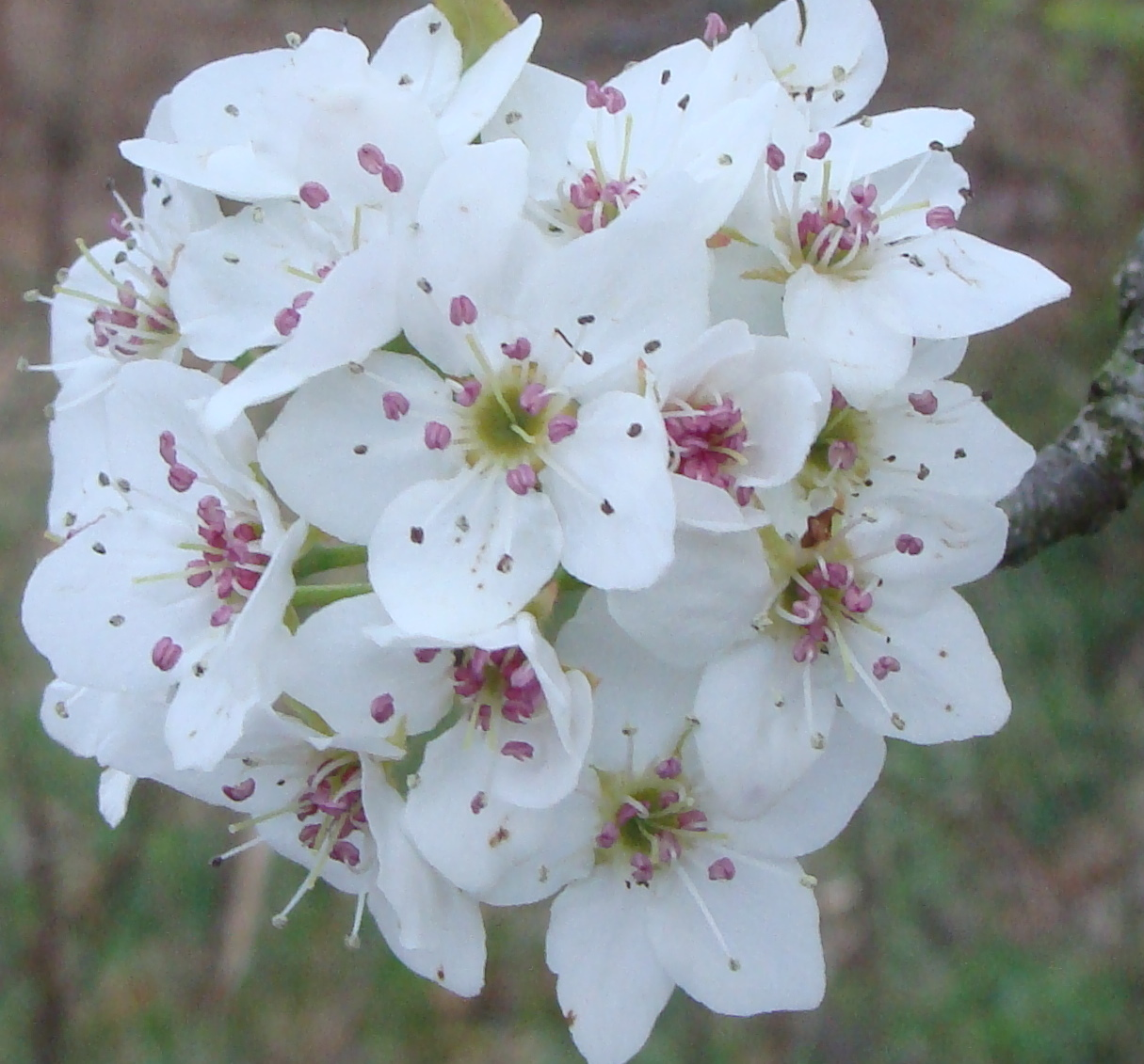 Pear blossoming redux.
