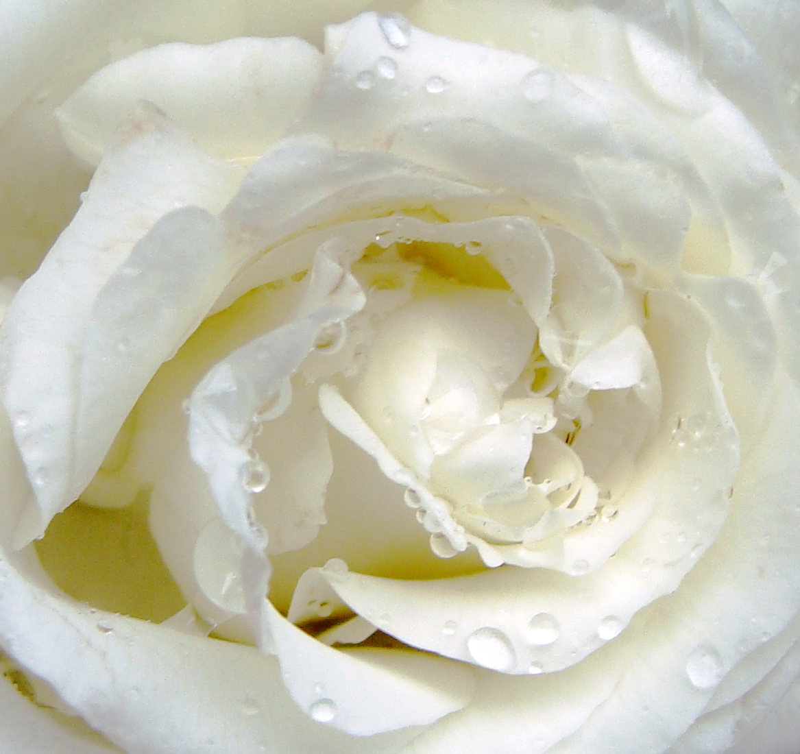 White roses are for reverence.