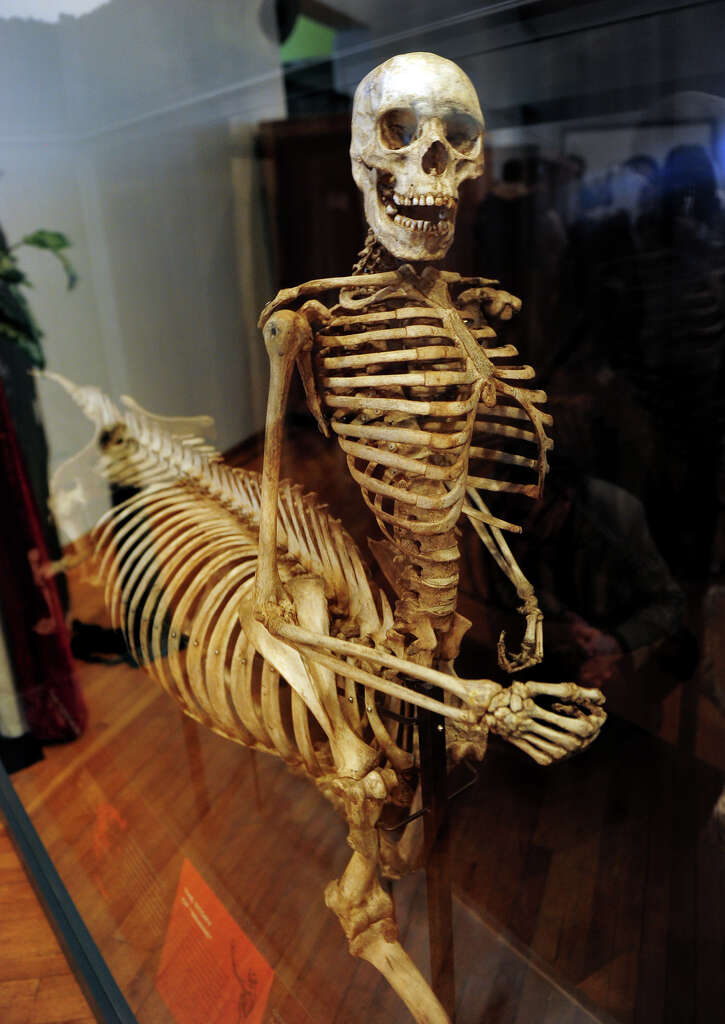 Image result for centaur skeleton