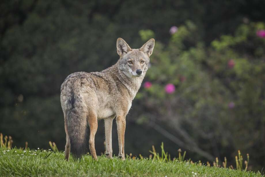 A coyote. Photo: Christopher Gallello