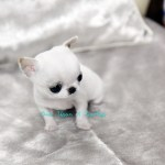 Onceuponateapup Com Now Handles All Teacup Puppy Sales In The Us And Canada For Jung Puppy Club