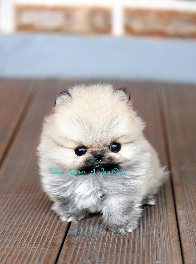 Inspiring Black Teacup Pomeranian Black Sale Cheap Teacup Pomeranian