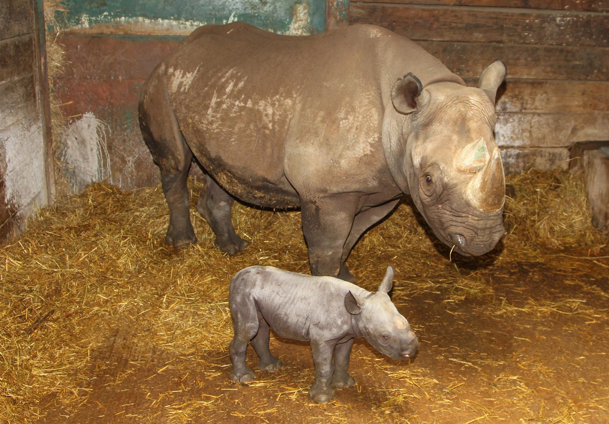 Newborn Baby Black Rhino at Port Lympne Wild Animal Park Brings Hope for Species